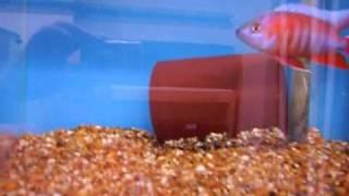 New Fish Room Malawi Cichlids African Cichlids
