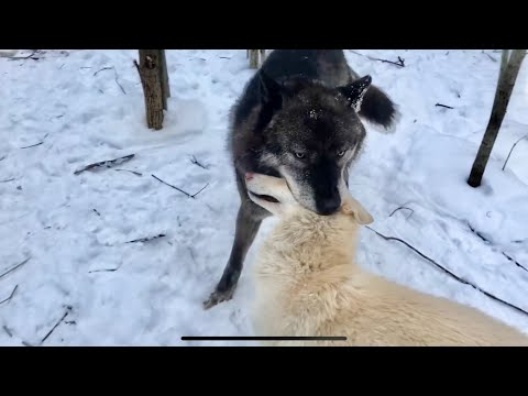 Волк поймал волэнда как барана. Волки подхватили конъюнктивит, Братиш рвёт одежду и отжимает сапоги