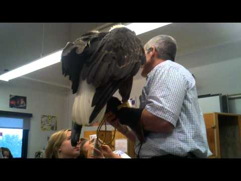 Birds of Prey – Bald Eagle in my school