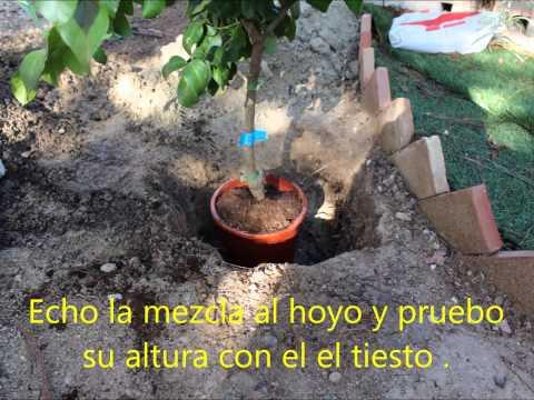 Plantaci n de limonero de maceta a tierra youtube - Limonero en maceta ...
