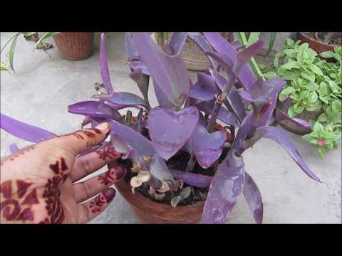 Beautiful Purple Heart Plant - Easy to Grow