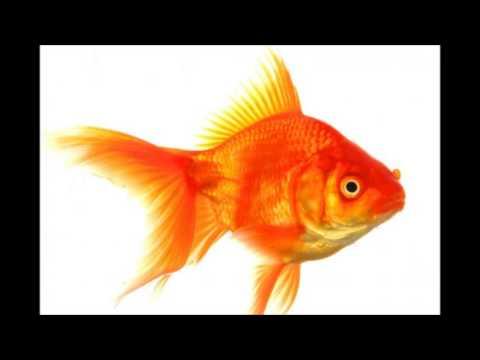 Giant Goldfish Found In Lake Tahoe