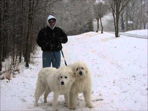 Pearl, Great Pyrenees/Old English Sheepdog-Forever in our Hearts