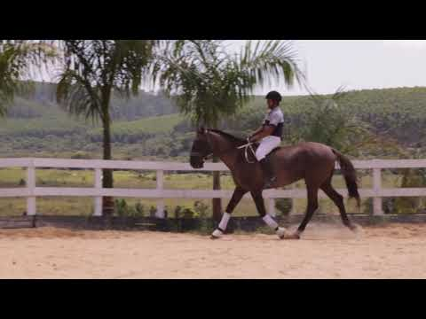 Lote 17 - Jambolão CSN - Cavalos puro sangue Lusitanos - Coudelaria aguilar