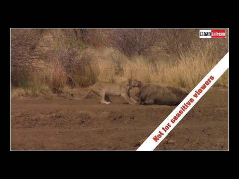 Lioness drags rhino carcass | Showing amazing power