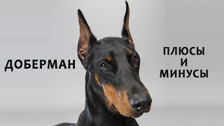 DOBERMAN. Pros and cons of the breed