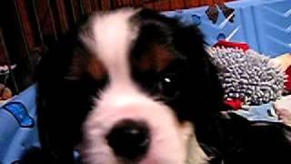 Cavalier King Charles Spaniel puppies 6 wks.