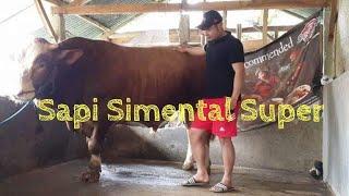 Gambar cover Sapi Simental Super Kandang Lama (Berkah Sammudera  Farm)