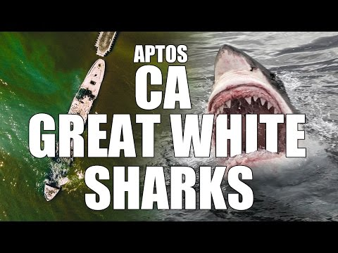 Great White Sharks in Aptos CA with drone