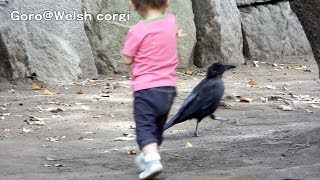 Crow & Child / カラスとちびっ子 20131008 Goro@welsh Corgi