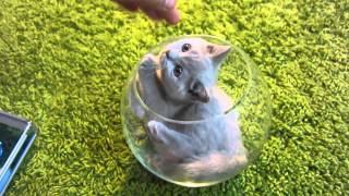"""серенький и беленький котята (породы """"британский"""" и """"ангора"""")"""