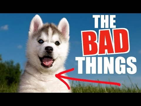 the-3-worst-things-about-siberian-husky-puppies...