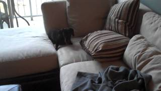 Couch Exercise With Charlie The Miniature Dachshund