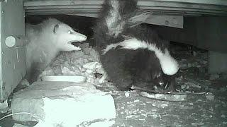 SCUFFLE Opossum vs. Skunk 11-06-2014 thumbnail