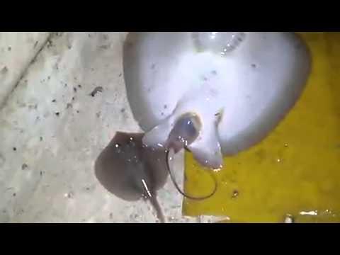 Ikan pari melahirkan anak 2 ekor