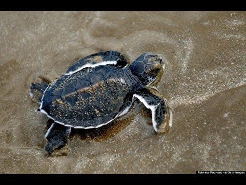 Baby Sea Turtles Race To Water Jupiter Florida Youtube