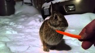 Hand Feeding a Wild Rabbit 2015 02 10