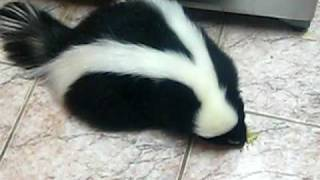 Skunk Hiccups