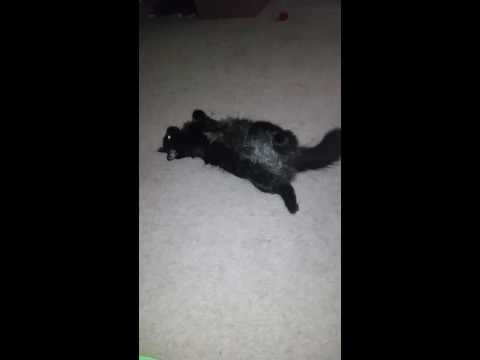 Half breed cat Blackie persian/short hair
