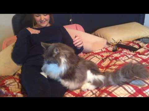 Maine Coon Oliver being pampered