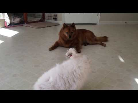 American Eskimo puppy challenged an older Finnish Spitz (12)
