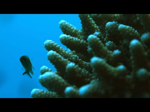 Reporters - Climate change: Could Red Sea corals save the world's reefs?
