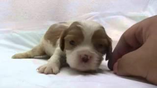 かわいいキャバリアキングチャールズスパニエルの子犬が誕生しました! ...