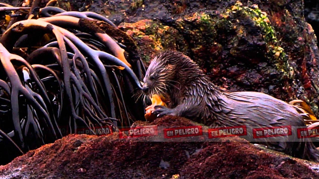 Huillín, la Nutria de la Patagonia ▷ Animales en Peligro de