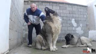 Repeat youtube video DON BIZON is weighed -103, 7 kg - 93 cm Shoulder height -2 years old.