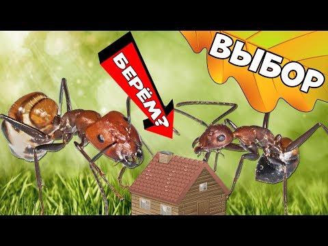 Как выбрать муравьиную
