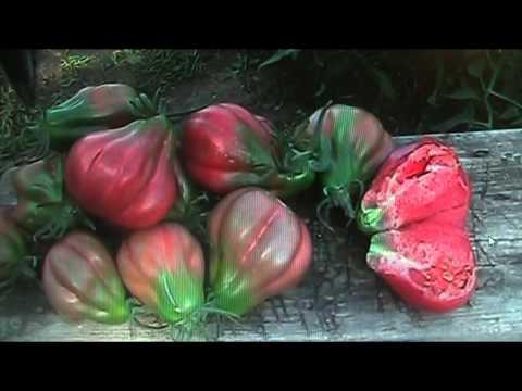 Сорта томатов для длительного хранения // Секреты хороших урожаев.