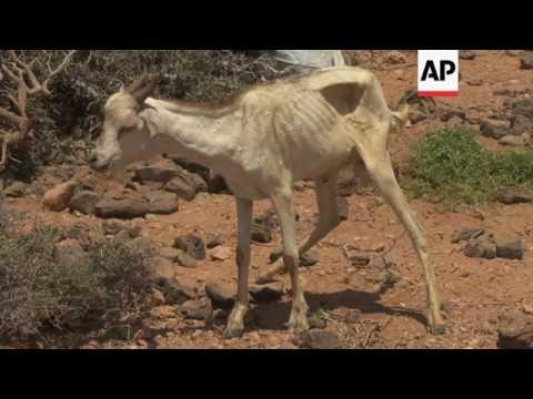 Somali drought destroys herders' livelihoods