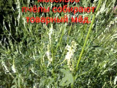Мед донника: полезные, лечебные свойства, его калорийность