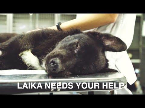 LAIKA: THE BLACK DOG EVERYONE FORGOT, NEEDS YOU !