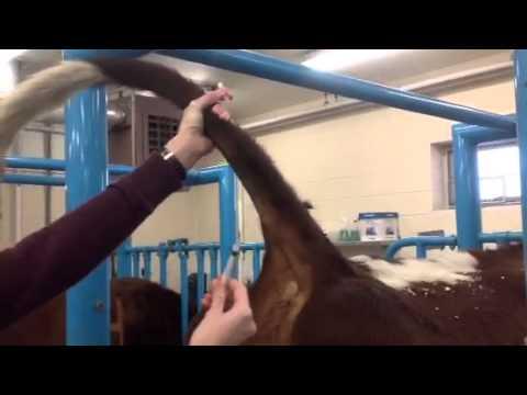 Bovine tail vein