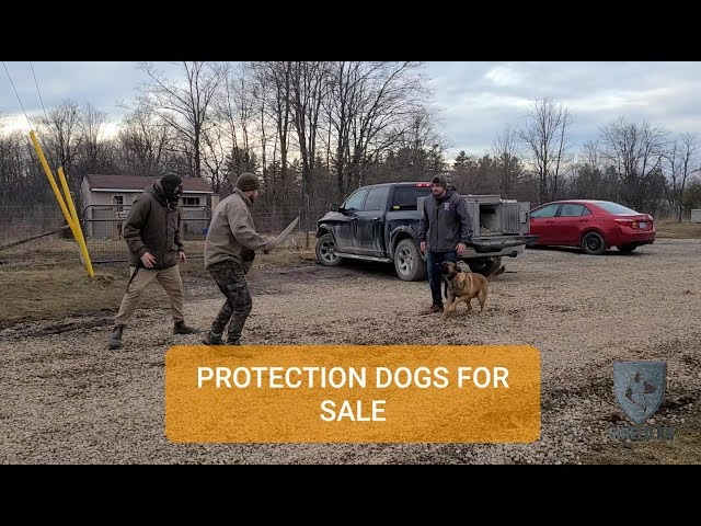 Executive Protection Dogs Canada 🇨🇦  - Shield K9