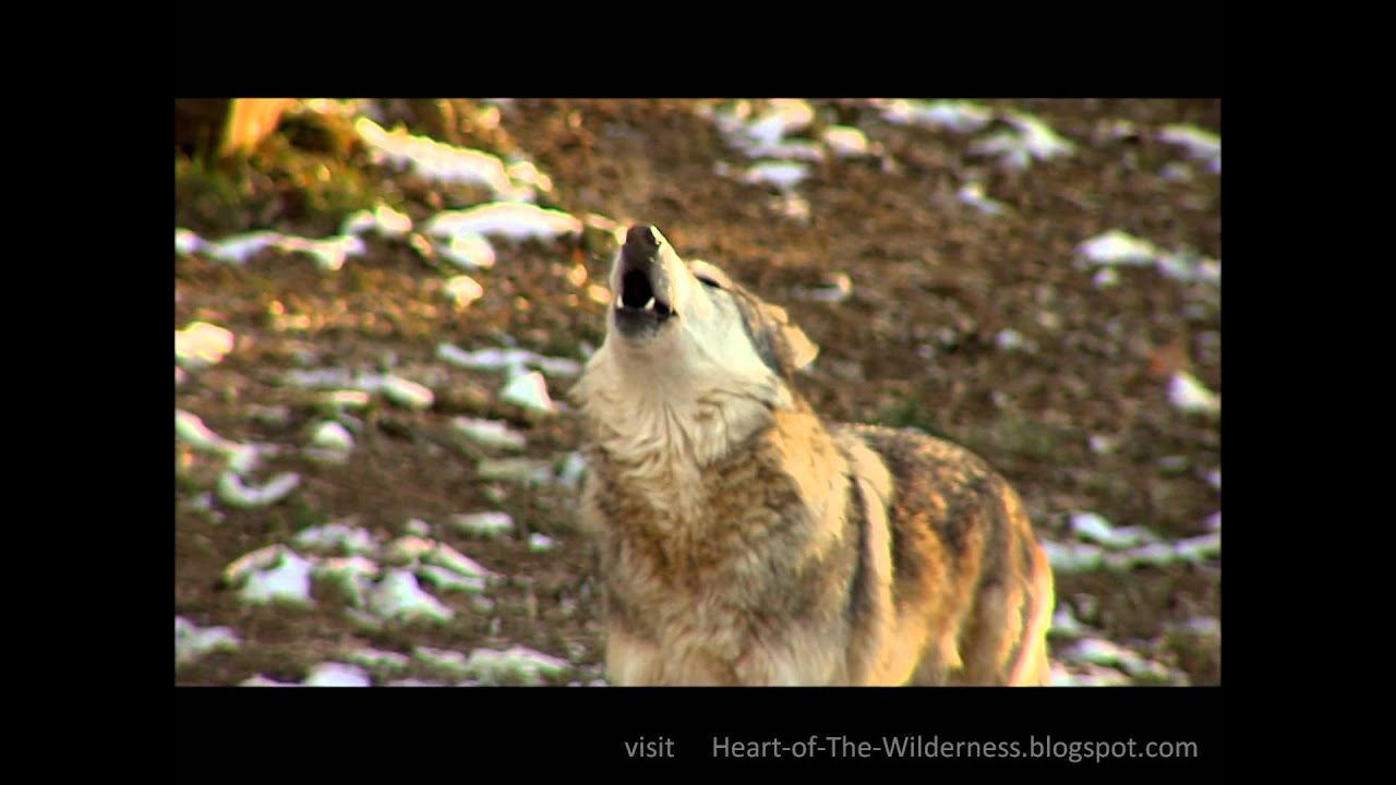 Howling Dog Video Clips
