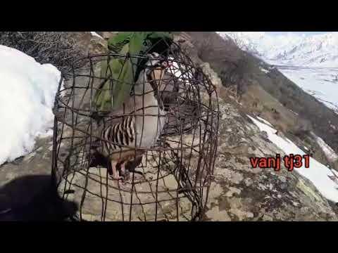 Овози кабк хангоми шикор дар кухсор Звук  во время охоты в горах  Zvuk laya vo vremya okhoty v gor