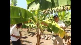 Saving the Philippine Banana Industry from the Dreaded Panama Disease [Part 1/2]