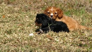Cavalier King Charles Spaniel, Puppies, For, Sale, In, Tucson, Arizona, Az, Catalina Foothills, Lake