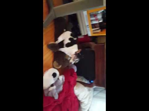 Dog with no eyes humping a stuffed bear