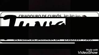 Curió Supremo do Sertão - Criadouro Junior de Feira de Santana-BA 75-99167-7505