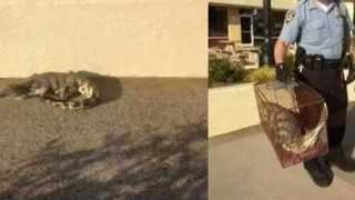 Nile crocodile caught at Roseville, California shopping center :TJ Maxx Plaza, Douglas Boulevard