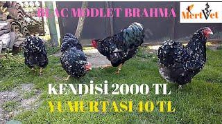 Yumurtası 40 TL, Kendisi 2000 TL Olan  Brahma Tavuk Irkı  Balack Modlet Kümesi