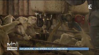 La Lacaune, une brebis au lait précieux