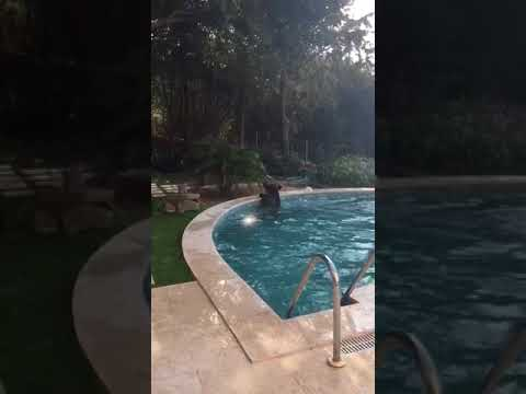 Wild Boar jumps into swimming pool
