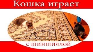 Кошка играет с шиншиллой. Маха врезалась в мусорку))) Манюня крадёт булочки)))