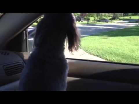 Dog Enjoys Car (And Scissor Sisters?)
