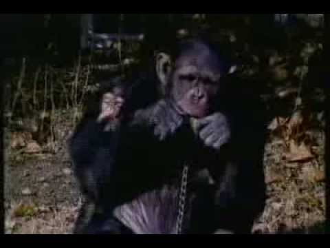 BBC Horizon — 'Chimp Talk'