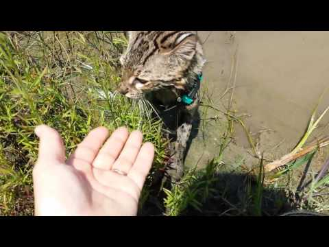 Gimmick the  Swimming Geoffroy Cat 6-10-16